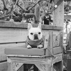 Polly, the French Bulldog, is modelling a striped Tee from Pipolli, #piggyandpolly on instagram.