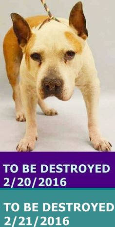 PASSED AWAY DUE CANCER 7/29/16 --- SAFE 2-21-2016 by Redemption Rescues, Inc. --- Manhattan Center  My name is KNUCKLES. My Animal ID # is A1065514.    I am a male tan and white staffordshire mix. The shelter thinks I am about 8 YEARS old.  I came in the shelter as a OWNER SUR on 02/18/2016 from NY 10466, owner surrender reason stated was MOVE2PRIVA. http://nycdogs.urgentpodr.org/knuckles-a1065514/