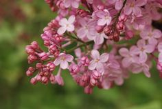Pearly Pink Lilac Blossom