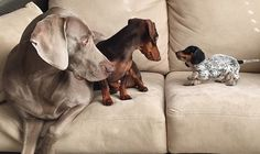 Harlow and Indiana are two dogs who love each other's company. The Weimeraner and Dachshund are a cuddly pair and love to play and take naps together. Prior to Indiana arriving in the home, Harlow loved her buddy Sage and photos of the two on Instagram became super popular. Harlow was sad when Sage passed […]