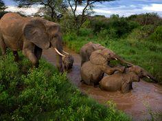 サンブル国立保護区のゾウ、ケニア   ナショナルジオグラフィック日本版サイト    サンブル国立保護区のゾウ、ケニア  母親と死別し孤児になった子ゾウ2頭を世話するサターン(Saturn)。死んだのは既に大人になっていたサターンの娘たちである。仲間の喪失からゾウの群れを救うのは、対象範囲の広い身内意識だ。写真は夕暮れ時、子どもたちの川遊びを見守るサターン。我が子が2頭、孤児となった孫2頭だが分け隔てない愛情を注いでいた。
