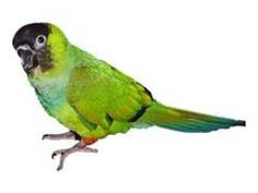 Nanday Conure Diet