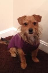 Robin is an adoptable Yorkshire Terrier Yorkie Dog in Evansville, IN. Bio Update 12/21/12:   Robin is warming up very well in her foster home. She is house and crate trained. She loves to run and play...