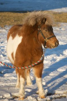 A Miniature Horse! jigsaw puzzle in Animals puzzles on TheJigsawPuzzles.com