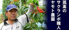 山梨県甲斐市の「ヤモト農園」あの銀座の超有名果物店も認めるさくらんぼを味わえる究極のさくらんぼ狩りです。さくらんぼ狩り上級者も絶賛!ここ以上のさくらんぼ狩りはありませんここが日本一いや世界一です。口コミも是非ご覧下さい。