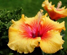 Are you interested in bigger, better, and longer hibiscus blooms? Then read the Ultimate Guide to Indoor Hibiscus Care for expert tips! Hibiscus Bush, Growing Hibiscus, Hibiscus Garden, Hibiscus Plant, Peonies Garden, Hibiscus Flowers, Cactus Flower, Exotic Flowers, Diy Flowers
