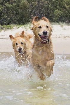 Fun in the sun by Mark Aichholzer - Animals - Dogs Playing ( canine, water, retriever, sand, summer, beach, dog, sun, golden )