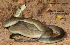 Dendroaspis polylepsis - Black Mamba
