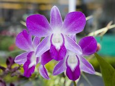 Flowering Orchid Photographic Print by Holger Leue at AllPosters.com