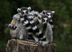 #Kattas - #Lemuren - #Madagaskar