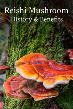 Revered for centuries by emperors and poets, healers and sages, reishi is much more than a medicinal mushroom – it is a fungi of divine proportions. Edible Wild Mushrooms, Stuffed Mushrooms, Growing Mushrooms At Home, Mushroom Tea, Edible Wild Plants, Wild Edibles, Healing Herbs, Medicinal Plants, Ayurveda