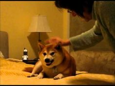 Very Funny Dog - A Shiba Inu Who Doesn't Like Satan