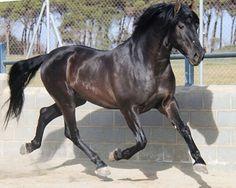 Spanish Horses For Sale