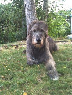 Irish Wolfhound photo | Irish Wolfhound | Le Clan de Tara Irishwolfhounds