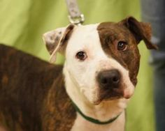 Tippy is an adoptable Pit Bull Terrier Dog in Toledo, OH. All Planned Pethood dogs and puppies are altered (spayed/neutered) and fully vetted prior to adoption.