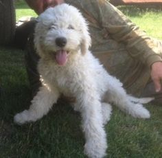 5 Pups is an adoptable Komondor Dog in Greensburg, PA. *This is a COURTESY POST*  These dogs are not in our rescue but in a local home that our rescue works with us. Contact info is posted below if ...