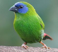 Blue-Faced Parrot Finch - Erythrura trichroa - This finch of the family Estrildidae has a wide range of natural distribution ranging from north-eastern Australia, Japan, The Federated States of Micronesia, Indonesia, New Caledonia, Solomon Islands, Palau, Papua New Guinea and Vanatu and also, it has been introduced to France