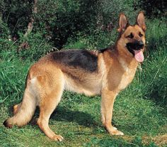 German Shepard, I love these beautiful dogs! I can't wait to own one... or four!!