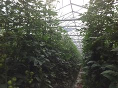 D-FUSE vegetable sprayed with a Machine by a Dutch contracter. This greenhouse is located in Bleiswijk, the Netherlands. This grower is aiming for a better fruit quality. The 86% HAZE is very important to achieve a better fruit quality.