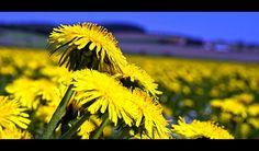 Please eat the dandelions: 9 edible garden weeds