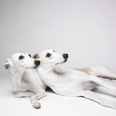Whippets