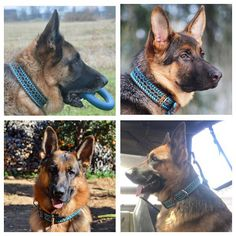 All looking stunning in their limited edition collar from @bruno_theshepherd  Featured accounts @vatothedog @noma.cerogsds @cooper_thegsd @cena_germanshepherd  If you are interested in purchasing one of these limited edition collars only 50 made please contact @bruno_theshepherd you won't be disappointed! They are not only beautiful but incredibly sturdy water and mildew resistant.  #collar #sturdy #limitededition #50 #germanshepherdsofinstagram #dogsofinstagram #instagram #gsdsofigworld…