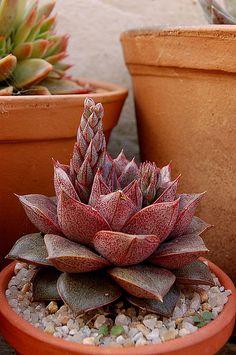 Echeveria 'Dyonisus'                                                                                                                                                     Mais
