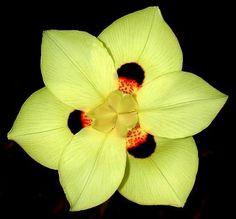 South African Iris Dietes bicolor 25 seeds yellow by SmartSeeds Unusual Flowers, Rare Flowers, Iris Flowers, Amazing Flowers, Yellow Flowers, Planting Flowers, Bulb Flowers, Unusual Plants, Rare Plants