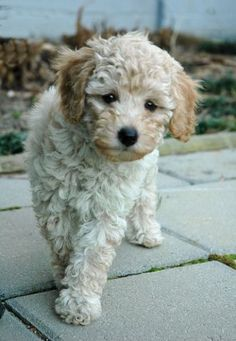 www.flickr.com | Poochon - I just love this breed!