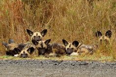 In memory of Crossroads Pack. It is heart-breaking to see a pack of Wild Dogs that have thrived for so many years being wiped out in a matter of 4 days. Such events remind us how easy it can be to lose an entire species within the blink of an eye. We need to keep reminding ourselves that without hands-on conservation and ongoing monitoring and research, these incredible creatures will disappear forever...