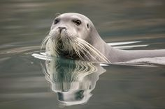 Bearded Seal Swims By by Mike Johnson on 500px