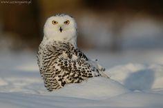 Sowa śnieżna