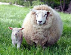 big sheep, little lamb..