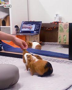 Guinea Pig House, Pet Guinea Pigs, Animal Pictures, Cute Pictures, Baby Animals, Cute Animals, Guinea Pig Bedding, Cute Hamsters, My Art Studio