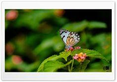 Butterfly HD Wide Wallpaper for Widescreen