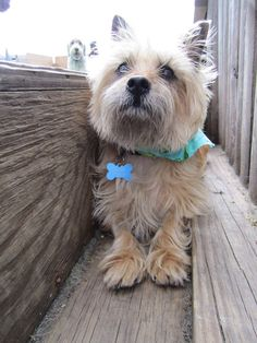 Cairn terrier... looks like my old pup katie