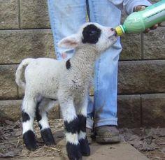 American Miniature Harlequin Sheep