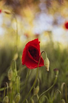 Beautiful red poppy in a green field Green Fields, Red Poppies, Poppy, Beautiful Flowers, Photo Editing, Royalty Free Stock Photos, Rose, Illustration, Plants