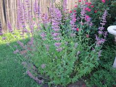 Herbs to flavor homemade liquers: Hyssop