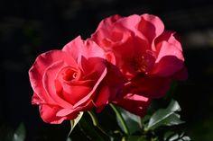 Romanze – ruusu   Vesan viherpiperryskuvat – puutarha kukkii