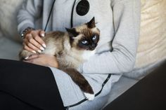 Seal point Sacred Birman cat sitting in the owner's hands