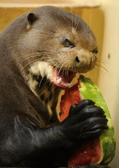 Evil Otter Eating a  Watermelon (2)