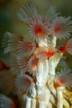 Tube worm - Filogranella elatensis