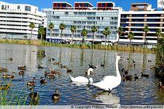 Cygnes et canards. Bassin Jacques-Coeur. Montpellier