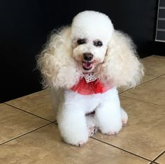 Sophie at Grande Style Pet Dog Grooming in Tampa. Grooming Salon, Pet Grooming, Poodle Hairstyles, Pet Dogs, Pets, Small Dogs, Little Dogs, Pug Dogs, Dogs