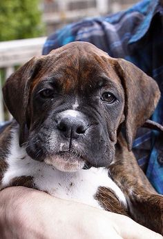 "Acquire excellent pointers on ""boxer puppies"". They are actually on call for you on our site. Boxer Bulldog, Boxer Puppies, Cute Puppies, Cute Dogs, Dogs And Puppies, Doggies, Boxer And Baby, Boxer Love, Baby Animals"