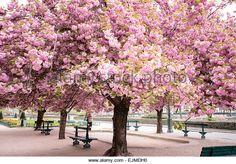 "kawazu cherry blossoms, called ""Kawazu-zakura"""