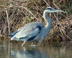 Great Blue Heron in January (99 pieces)