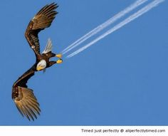 Eagle leaves its mark perfectly timed – When flying so fast its leaving a trail behind.