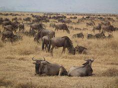 #Safari in tabara Ang'ata #Zanzibar – 6 zile Se viziteaza Lacul Manyara, Parcul National Serengeti, #Rezervatia Ngorongoro. La cerere oferim pachete personalizate in Zanzibar precum si in alte tari! http://bit.ly/2xBxxsV
